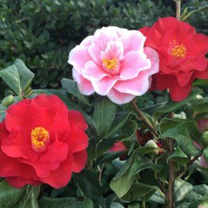 Camellia japonica,椿,SixTONES